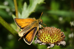 Photo of Small Skipper (Thymelicus sylvestris)