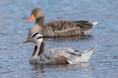 Photo of Bar-Headed Goose with Greylag Goose behind