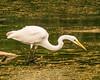 Great Egret Fishing @ Swift Creek Reservoir - Midlothian, VA, USA