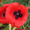 Wet Poppy,Ellon_jul 20_339