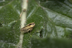 Photo of leafhopper