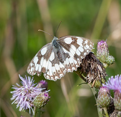 Ranscombe  10.07.2020 Marbled White