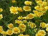 Return to Castle Bromwich Hall Gardens - Upper Wilderness - Golden marguerite