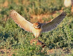 July 11, 2020 - A burrowing owl owlet nails the landing. (Bill Hutchinson)