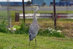 Photo of Grey Heron - Prestwick  - 11-07-20