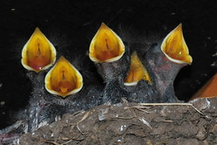Photo of Swallow chicks