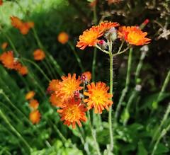 Photo of Orange Hawkweed Pilosella aurantiaca