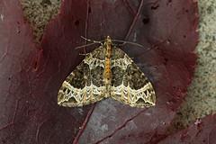 Photo of 70.094 Small Phoenix (Ecliptopera silaceata), Burntisland, Fife