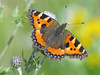 Small Tortoishelle Butterfly