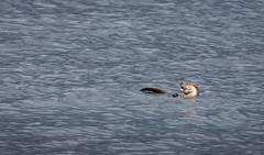 Photo of Otter, Rubha na Sròine, Craignure, Mull, Inner Hebrides, Scotland, UK
