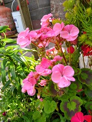 Photo of pink geranium
