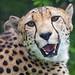 Friendly cheetah looking at me