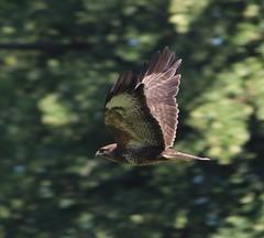 Photo of Buzzard flying near Stubbings Churchyard