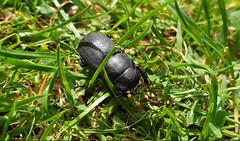 Photo of Alexanda Beetle