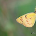 A Common Grass Yellow Settles on a leaf in the wind