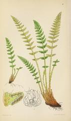 Anglų lietuvių žodynas. Žodis rusty woodsia reiškia aprūdijęs woodsia lietuviškai.