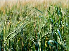 2020-07-13 21.38.54 - Farmland, Olympus 60mm F2.8, Dag 195-366, Uge 29, Assentoft, Randers - _7130293 - ©Anders Gisle Larsson
