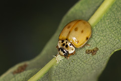 Photo of 10 Spot Ladybird - devouring aphid