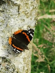 Photo of Red Admiral
