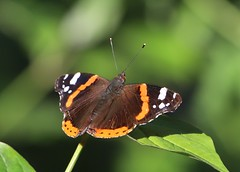Photo of Red Admiral in Maidenhead Thicket