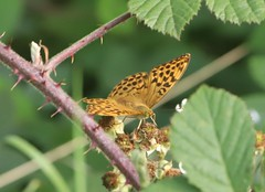 Photo of Silver-washed Fritillary in Maidenhead Thicket