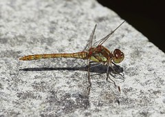 Photo of Female Common Darter by the pond - Nag's Head Cottage