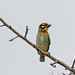 A Coppersmith Barbet - Bored Maybe?