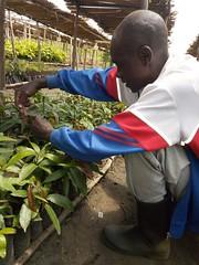 A farmer grafting mango seedlings in Rwanda. Photo Alex Mugayi World Vision Rwanda