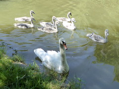 Photo of Mute Swan adult with seven cygnets Grand Union Canal 12Jul20
