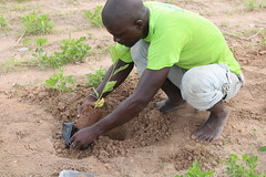 Plantation of baobab (Adansonia digitata) for the planned comparison in Kaffrine. Photo Sidy. Diawara