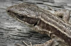 Photo of Common Lizard