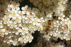 Photo of Honeybee on Pyracanthus Flowers