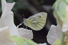 Photo of Pieris napi, 2020-07-14