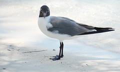 Laughing Gull, Bahamas