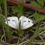 small white (Pieris rapae)