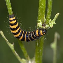 Photo of Cinnabar Moth Caterpillar