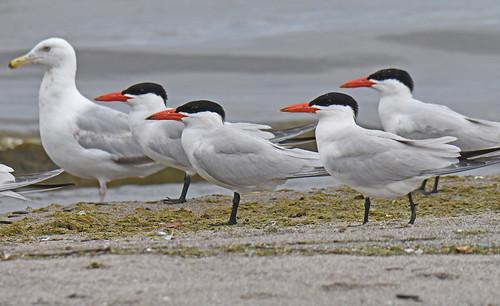 Caspian Tern - Hamlin Beach Park - © Dick Horsey - Jul 12, 2020