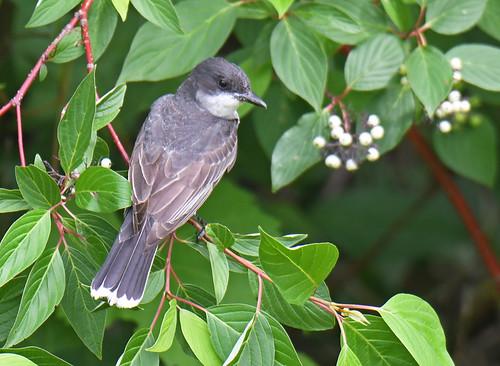 Eastern Kingbird - Hamlin Beach Park - © Dick Horsey - Jul 12, 2020