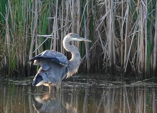 Great Blue Heron - Pittsford - © Alan Bloom - Jul 10, 2020