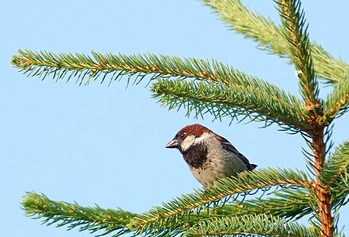 House Sparrow - Pittsford - © Alan Bloom - Jul 08, 2020