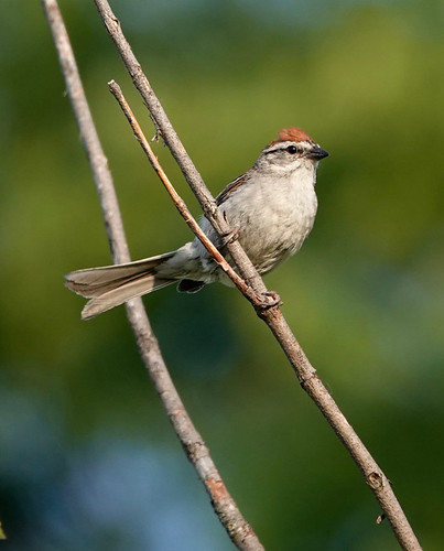 Chipping Sparrow - Pittsford - © Alan Bloom - Jul 08, 2020