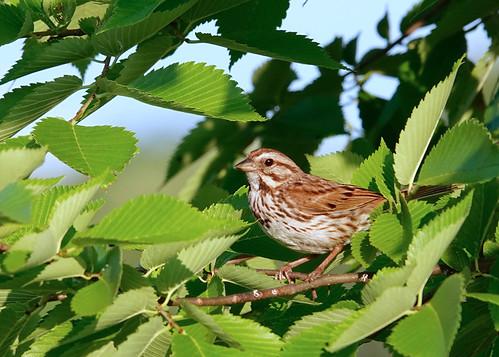 Song Sparrow - Brickyard Trail - © Alan Bloom - Jul 10, 2020