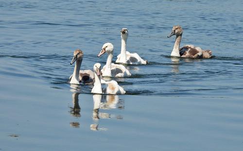 Mute Swan (Juv) - Braddock Bay East Spit - © Candace Giles - Jul 09, 2020