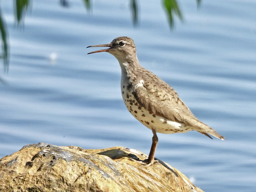 Spotted Sandpiper - Braddock Bay East Spit - © Candace Giles - Jul 09, 2020