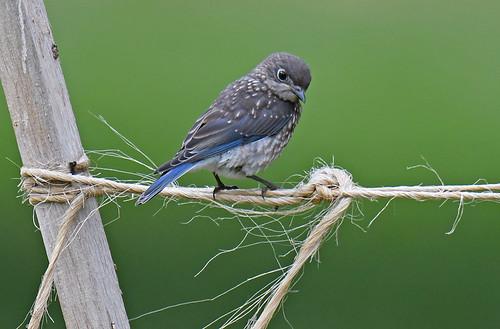 Eastern Bluebird (Juv) - Hamlin Beach Park - © Dick Horsey - Jul 12, 2020