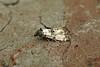49.139 Cochylis atricapitana, Burntisland, Fife