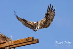 July 12, 2020 - Osprey prepares to land. (Tony's Takes)