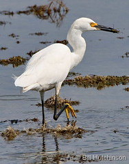July 14, 2020 - Snowy egret looking to eat. (Bill Hutchinson)