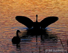 July 13, 2020 - Goose silhouetted by sunrise. (Bill Hutchinson)