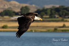 July 12, 2020 - Bald eagle makes a flyby. (Tony's Takes)